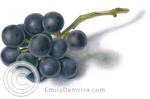 Coronation grapes illustration