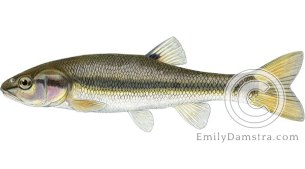 Creek chub Semotilus atromaculatus illustration