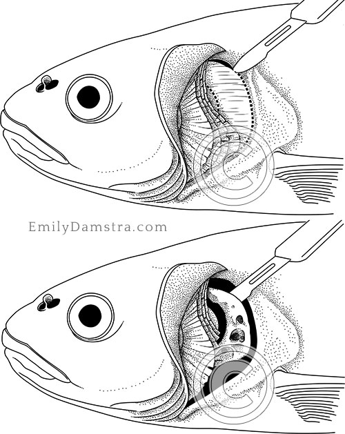 Cyprinid pharyngeal dissection illustration
