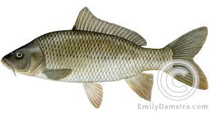 Common carp Cyprinus carpio illustration