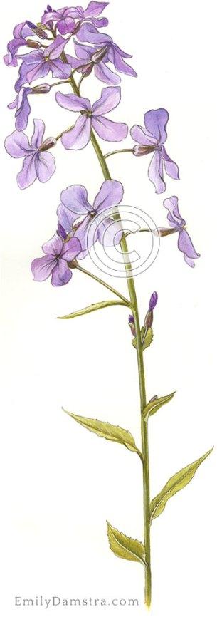 Dame's rocket illustration Hesperis matronalis