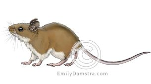 North American deer mouse illustration Peromyscus maniculatus