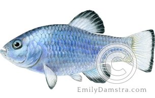 Desert pupfish illustration Cyprinodon macularius