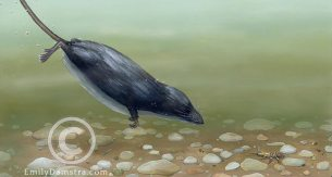 Illustration of a water shrew diving Sorex palustris
