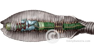 Earthworm dissection illustration