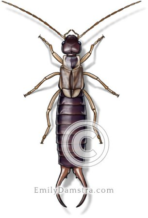 Common earwig illustration Forficula auricularia