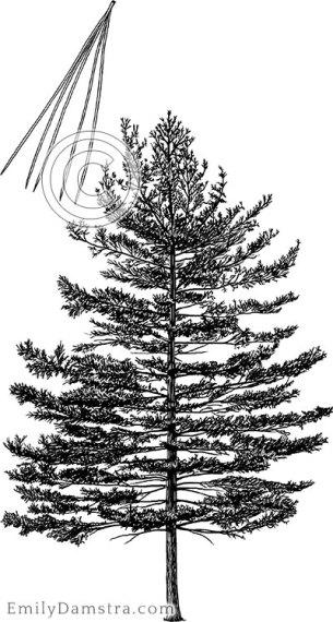Eastern white pine illustration Pinus strobus