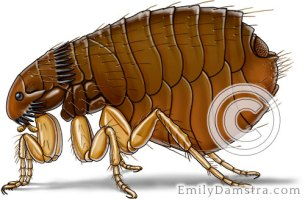 Cat flea illustration Ctenocephalides felis