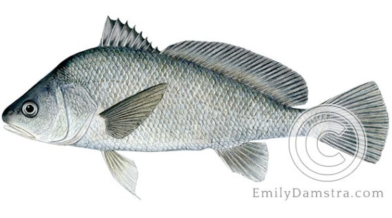 Freshwater drum Aplodinotus grunniens illustration