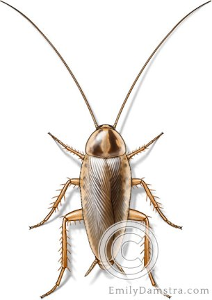 German cockroach illustration Blatella germanica male