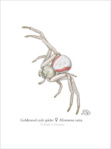 goldenrod crab spider print