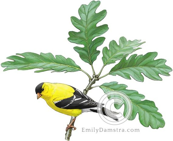 American goldfinch on Garry oak Spinus tristis Quercus garryana
