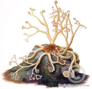 Northern basket star illustration Gorgonocephalus arcticus