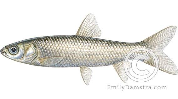 Grass carp juvenile illustration Ctenopharyngodon idella