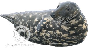 Gray seal female – Emily S. Damstra