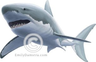 Great white shark – Emily S. Damstra