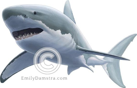 Illustration of Great white shark Carcharodon carcharias