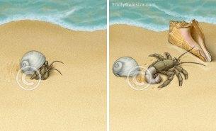 Illustration of hermit crab changing shells