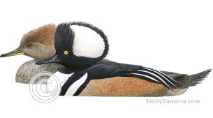 Hooded mergansers illustration Lophodytes cucullatus