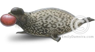 Hooded seal illustration Cystophora cristata male