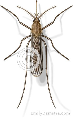House mosquito illustration Culex pipiens