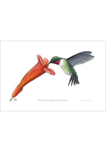 hummingbird_trumpetvine_print