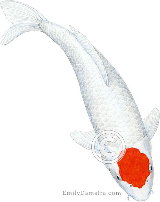 Tancho koi illustration