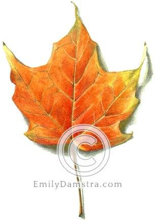 Orange maple leaf illustration
