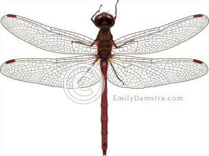 Meadowhawk dragonfly illustration Sympetrum