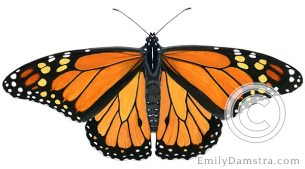 Monarch butterfly – Emily S. Damstra