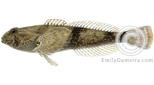 mottled sculpin cottus bairdi illustration