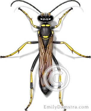 Black and yellow mud dauber illustration Sceliphron caementarium