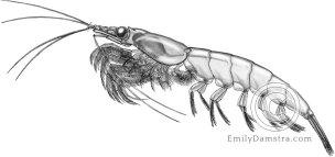Northern krill illustration Meganyctiphanes norvegica