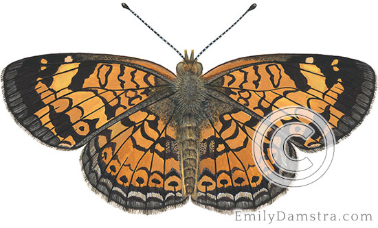 Pearl crescent butterfly illustration Phyciodes tharos