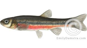 Pearl dace Margariscus margarita illustration