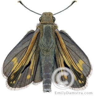 Peck's skipper illustration Polites peckius