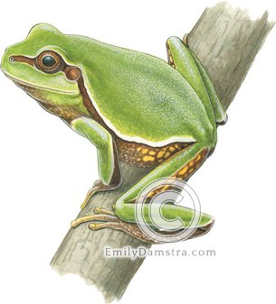 Pine barrens tree frog – emily S. Damstra