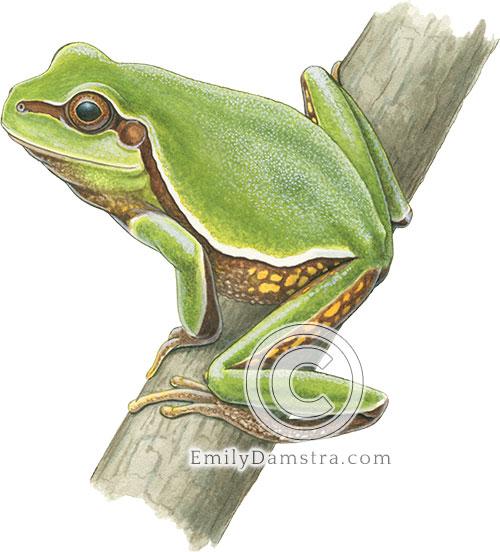 Pine barrens tree frog illustration Hyla andersonii