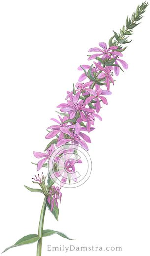 Purple loosestrife illustration – Emily S. Damstra