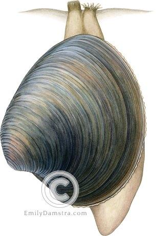 Quahog illustration Mercenaria