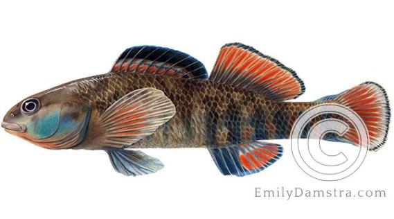 Rainbow darter Etheostoma caeruleum illustration