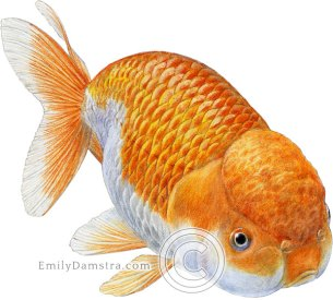 Ranchu goldfish illustration