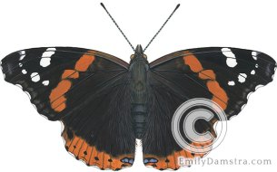 Red admiral illustration Vanessa atalanta