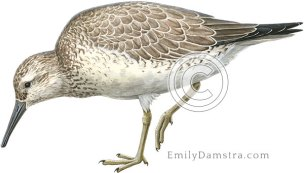 Red knot, non-breeding plumage – Emily S. Damstra