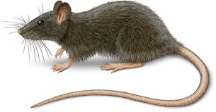Roof rat illustration Rattus rattus