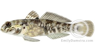 round goby neogobius melanostomus illustration