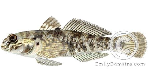 round goby neogobius melanostomus illustration