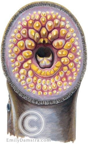 sea lamprey mouth illustration