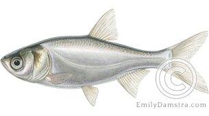 silver carp Hypophthalmichthys molitrix ilustration