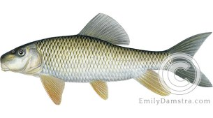 Silver redhorse Moxostoma anisurum illustration